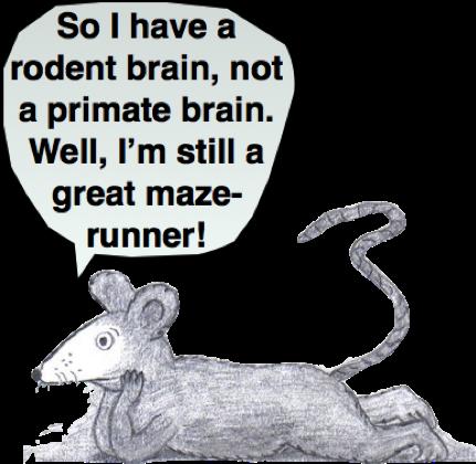 rodent brain, primate brain